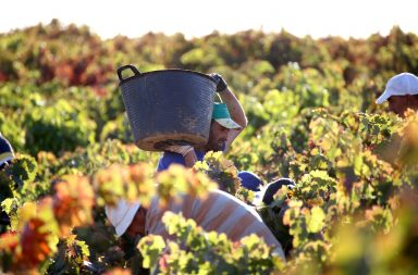 Vendimia ruta del vino de cigales