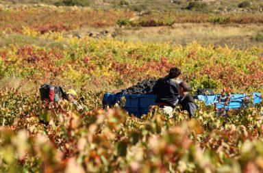 cultura del vino vendimia