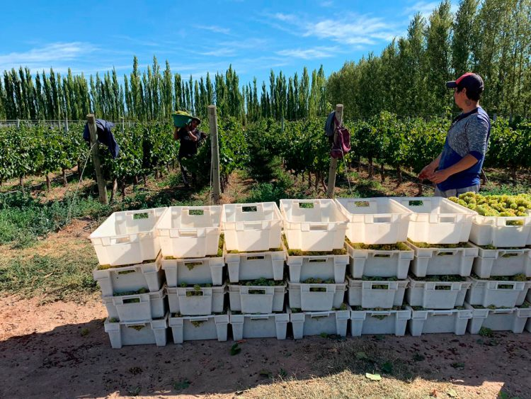 Vendimiando en la Patagonia-Argentina